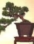 Growing Bonsai Tree